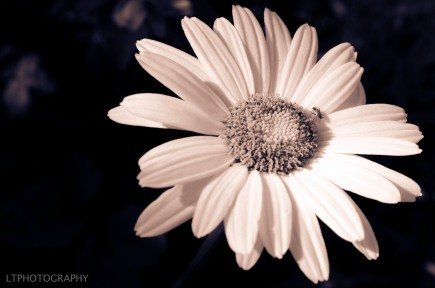 B&W daisy with fly